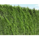 Arbore ornamental Tuia / Thuja occidentalis smaragd balot, H 130 - 150 cm
