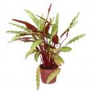 Planta interior Calathea mix H 40 cm D 12 cm