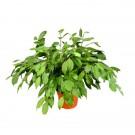 Planta interior Ficus benjamina H 70 cm 17CS