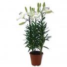 Planta interior Lilium orange H 55 cm