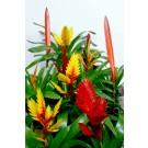Planta interior Vriesea mix, sabia de foc, H 45 cm, D 12 cm