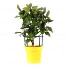 Planta interior Citrus lemon lamai H 35-50 cm D 14 cm