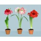 Plante cu bulbi amaryllis d12cm