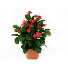 Planta interior Euphorbia mili H 22 cm D 12 cm