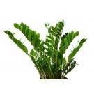 Planta interior Zamioculcas zamiifolia H 35 cm D 12 cm