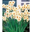 Plante cu bulbi narcise d10,5cm
