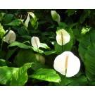 Planta interior Spathiphyllum sweet, crinul pacii, H 70 cm, D 17 cm