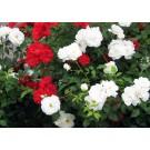 Planta interior Trandafir mix, D 10.5 cm