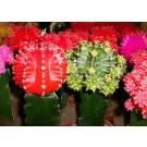 Cactus mix gymnocalycium d5,5cm