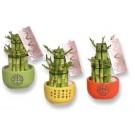 Planta interior Lucky bamboo ghiveci ceramic H 20 cm D 9 cm