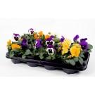 Viola panselute mix 10buc