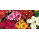 Planta interior/exterior Chrysanthemum mix H 35 cm D 13 cm