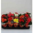Begonia mix h15 d9cm