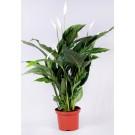 Spathiphyllum h40 d13cm