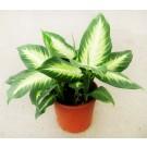 Planta interior Dieffenbachia mix H 45 cm D 12 cm