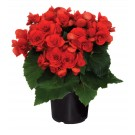 Planta interior Begonia vulcano H 25 cm D 12 cm
