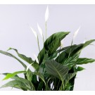 Spathiphyllum h30 d9cm