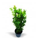 Arbust ornamental Buxus sempervirens H 40 cm D 13 cm