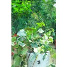 Suport spirala pt plante ss550