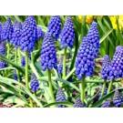 Plante cu bulbi muscari blue d9cm