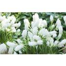 Plante cu bulbi muscari white d10,5cm