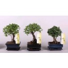 Planta interior Bonsai mix bol D 15 cm
