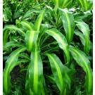 Planta interior Dracaena massangeana H 50 cm D 4 cm