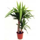 Planta interior Yucca H 55 cm D 14 cm