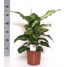 Planta interior Dieffenbachia green magic H 60 cm D 17 cm