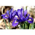 Plante cu bulbi iris d9cm
