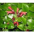 Planta interior Aeschynanthus monalisa, planta ruj, H 50 cm, D 15 cm