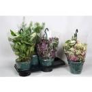 Planta interior Mix plante cu agatatori H 35 cm D 18 cm