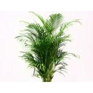 Chrysalidocarpus lutescens h55 d12cm
