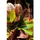 Planta interior Codiaeum H 40 cm D 12 cm
