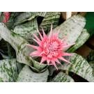Planta interior Aechmea primera, ecmea, H 55 cm, D 15 cm