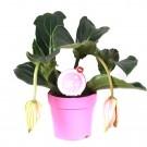Planta interior Medinilla Magnifica H 40 cm D 17 cm