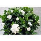 Planta interior Gardenia, H 25 cm, D 13 cm