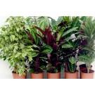 Planta interior Mix plante verzi H 150 cm