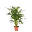 Planta interior Palmier areca H 90 cm D 21 cm