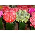 Planta interior Cactus gymnocalyc mix H 25 cm D 8,5 cm