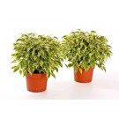 Planta interior Ficus benjamina kinky H 25 cm D 12 cm