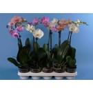 Orhidee phalaenopsis h45 d12cm 3-5 flori