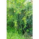Suport spiralat pentru plante sr-6-150