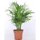 Planta interior Chamaedorea elegans H 50 cm D 12 cm