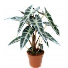 Planta interior Alocasia polly H 35 cm D 12 cm