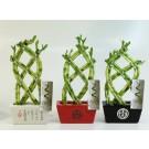 Planta interior Lucky bamboo mix ghiveci ceramic D 17 cm