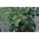 Arac Stick up, pentru plante in ghiveci, plastic, 60 cm