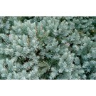 Arbore ornamental Juniperus Squamata blue star D 17 cm