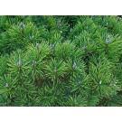 Arbore ornamental Pinus Mugo Mughus D 17 cm