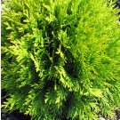 Arbore ornamental Thuja occidentalis golden globe D 17 cm
